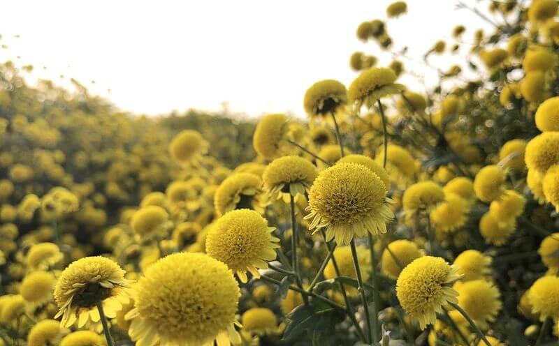 Hoa cúc là loại thảo dược có công dụng thanh nhiệt, giải độc vô cùng hiệu quả