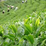 Trà xanh chứa thành phần Florua tự nhiên, polyphenol và catechin giúp ức chế sự phát triển của vi khuẩn từ đó ngăn ngừa sâu răng vô cùng hiệu quả